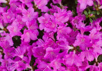gardening azaleas