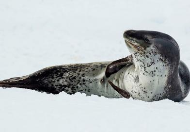 Leopard Seal on Milnerton Beach